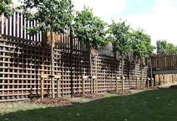 Pleached Lime Trees provide a high level screen